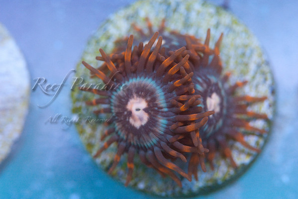 949722462 wJhei M 1 - Check out these Zoa's