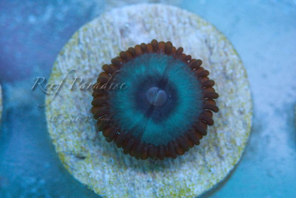 949745949 fPVoc M 1 - Check out these Zoa's