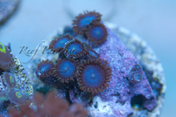 949748112 vTJGs M 1 - Check out these Zoa's