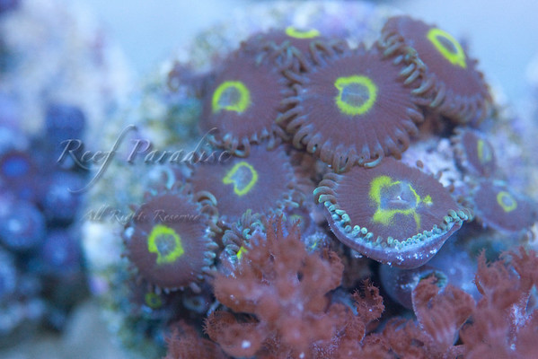949749066 if6pv M 1 - Check out these Zoa's