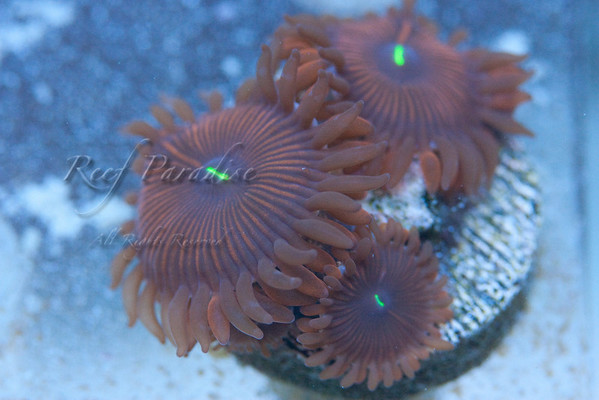949752065 zynRa M 1 - Check out these Zoa's